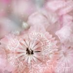pink flower by JustynaStolyhwo
