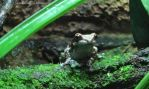 Amazon Milk Frog by Soll-DenneGallery