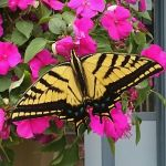 Swallowtail Butterfly by PamplemousseCeil