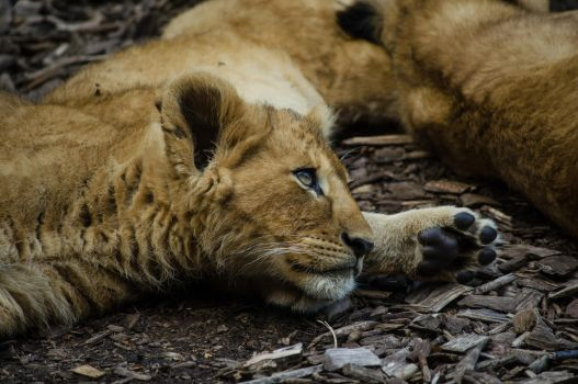 Lion baby by Electrokopf
