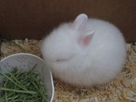 Cottonball Bunny by MissNellie