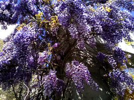 Wisteria Vine at CSUB by mouselady