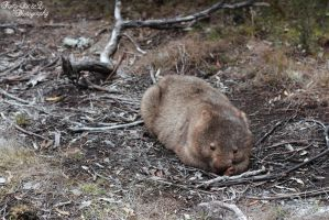 Wombat by FortySixand2Photos