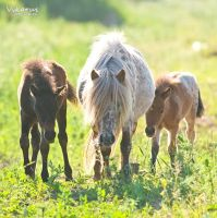 Appaloosa little pony by Vikarus