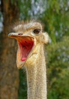 Ostrich Screeming Female by Jenvanw
