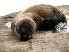Resting Sea Lion Pup by AfroDitee