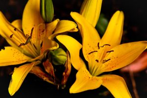 Yellow Asian Lilies by ParadoxJaneDesigns