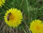 Bee on Dandelion --retouched-- by Cyberpriest