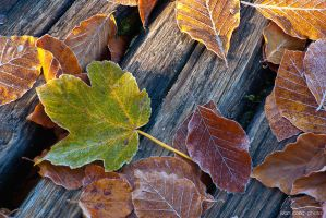 dry leaves by ivancoric
