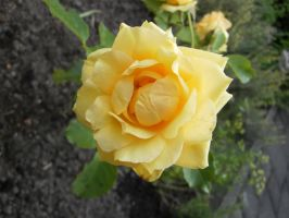 yellow rose 10 by ingeline-art