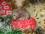 Houdini Hamster on a present by Candyfloss-Unicorn