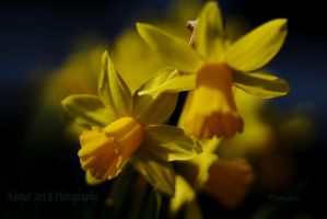 Daffodils In The Dark by Deb-e-ann