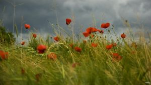 Poppys in the storm by rdalpes