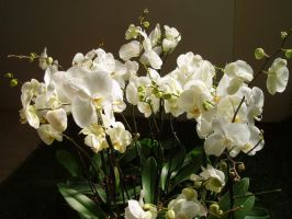 Bunch of Phalaenopsis by kate44