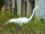 Wild Great Egret on the Hunt by JMPorter
