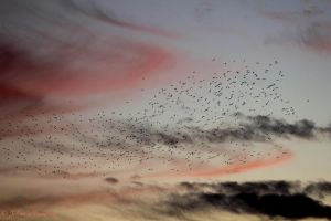 Starlings by jochniew
