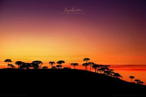 Araucaria sunset by Miguel-Santos