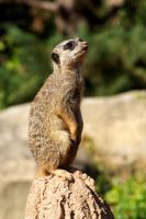 Meerkat 04 Stock by lokinststock