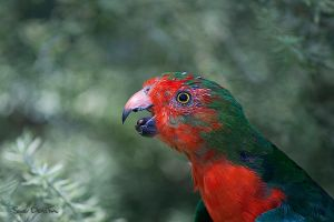 King Parrot by suedollin