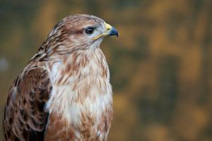 8073 - Red-tailed Hawk by Jay-Co