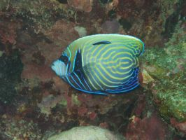 Butterfly fish by piratepigeon