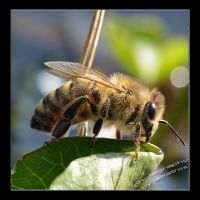 Bee by albatros1