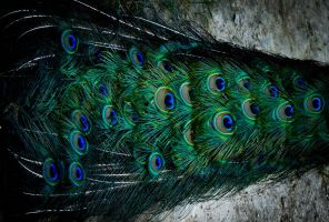 Peacock feather by zsanu