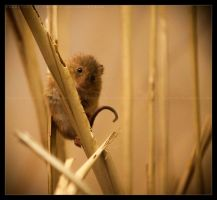 Harvest Mouse: Found by Flame-of-the-Phoenix