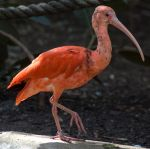 Scarlet Ibis by SalsolaStock