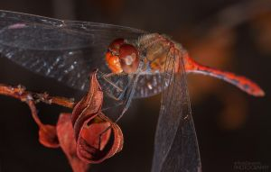 Red Dragonfly - Insect Macro Photography by RDography