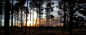 Pine Forest Sunset by tmz99