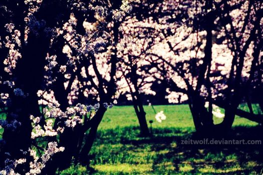 film. Cherry Blossom 7 by Zeitwolf