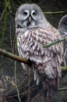 Grey Owl by Kissemiss11