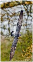 Peregrine Falcon In Flight by andy-j-s