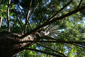 hoop pine by zzpmelcz