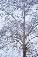 1002 Snowy Sycamore by PaigeC