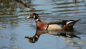 Male Wood Duck closeup by natureguy