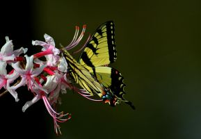 Yellow Butterfly on Pink Flowers by Neb-Storm