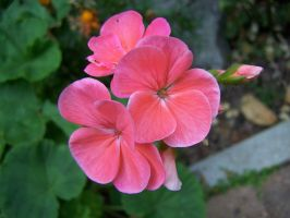 Stock Flower Pink by Sheiabah-Stock