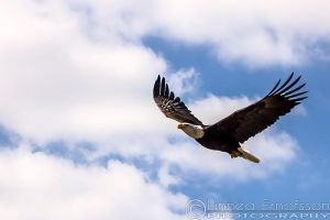 Apache the American Bald Eagle. ** by linneaphoto