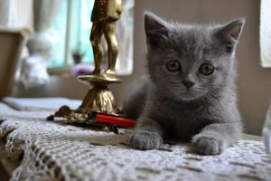 British Blue Kitten Boy by reggaepirate