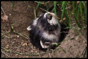Polecat by Alannah-Hawker