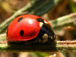 Ladybird Close-up by xsohax