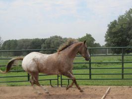 Red Roan Appaloosa 5 by scenic-desires