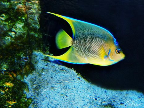 #queenangelfish | Expl...