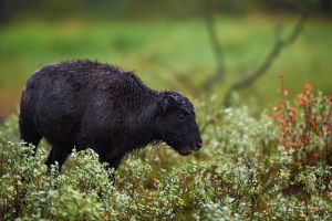 Bison Calf-A Rainy Day by JestePhotography