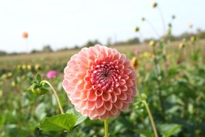 awesome dahlias at field by ingeline-art