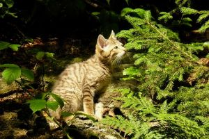 Felis silvestris kitten by Valdkynd