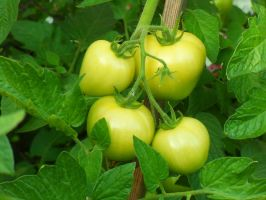 Tomatoes by rimis