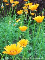Row of Yellow Gerberas by yuzukko